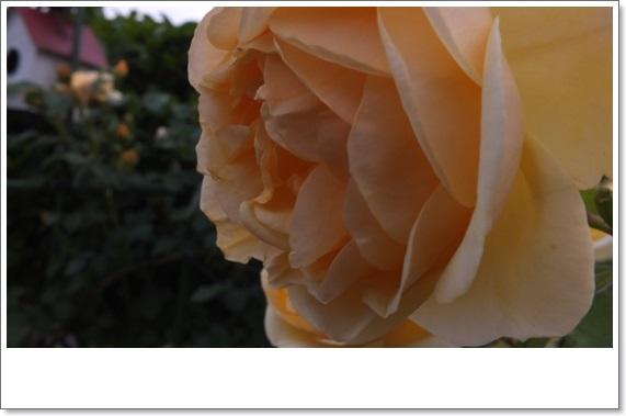M邸の薔薇 Ⅱ_b0214473_21402632.jpg