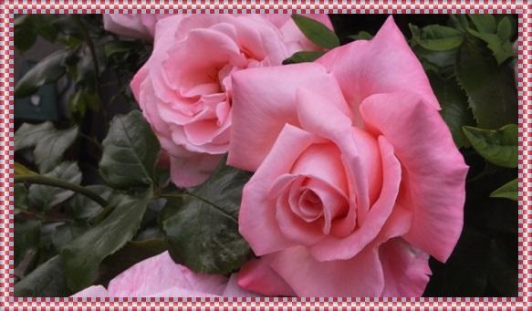 M邸の薔薇 Ⅱ_b0214473_21413967.jpg