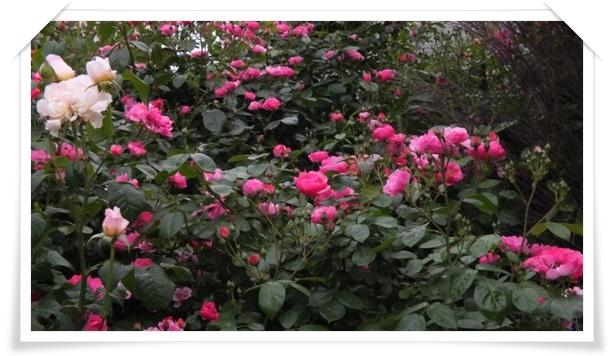 M邸の薔薇 Ⅱ_b0214473_2144778.jpg