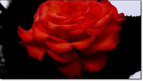 M邸の薔薇 Ⅱ_b0214473_21473064.jpg