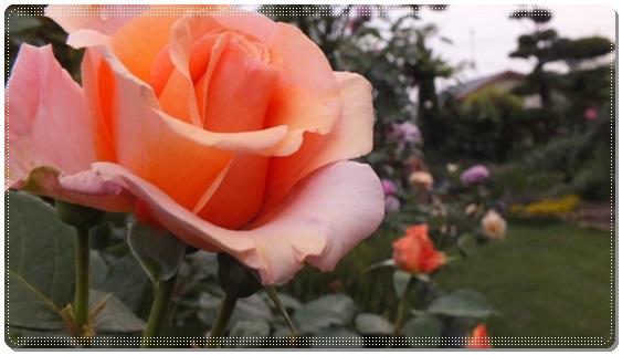 M邸の薔薇 Ⅱ_b0214473_21534790.jpg