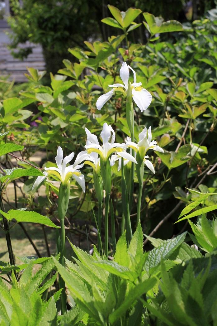 白花のアヤメ_a0107574_1712044.jpg