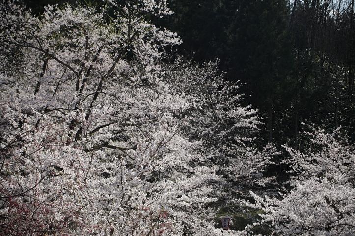 置賜桜回廊 殿入りザクラ_e0165983_10115357.jpg