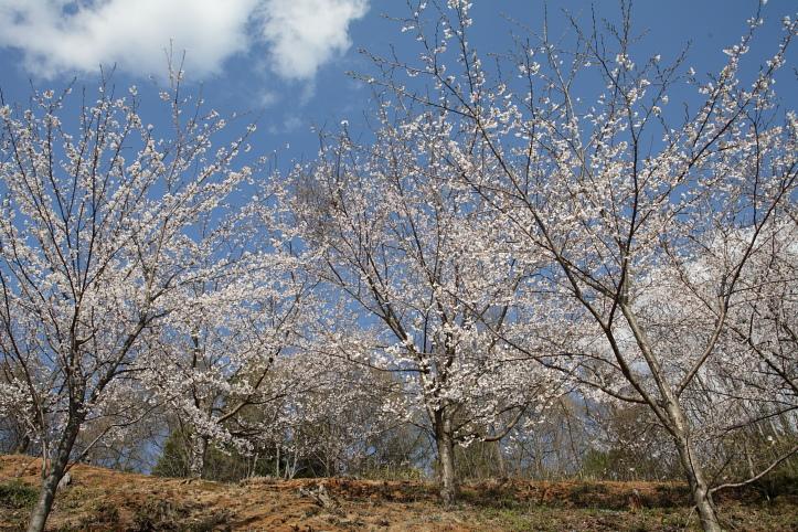 置賜桜回廊 殿入りザクラ_e0165983_10123950.jpg
