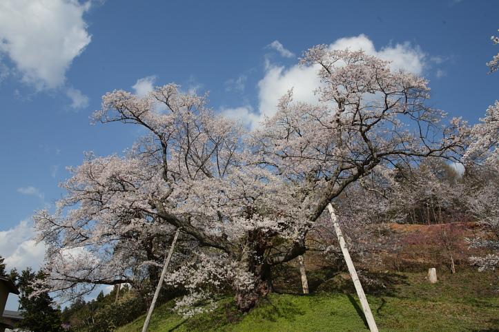 置賜桜回廊 殿入りザクラ_e0165983_1091290.jpg