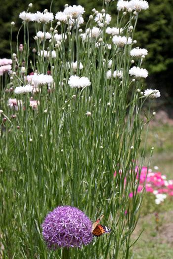 菜園 花と蝶_e0048413_20301641.jpg