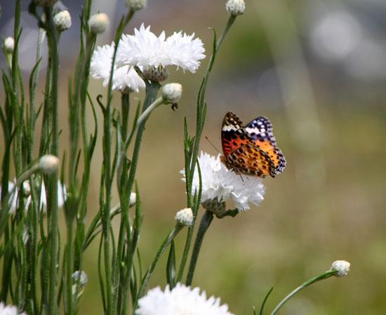 菜園 花と蝶_e0048413_20304145.jpg