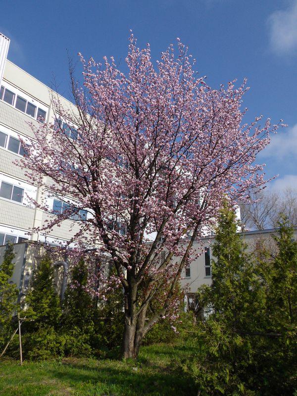 寒さの中サクラは咲き続ける_c0025115_2019405.jpg