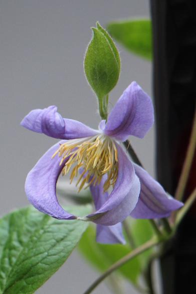 5月 庭の花だより(紫色編)_d0150720_1459168.jpg