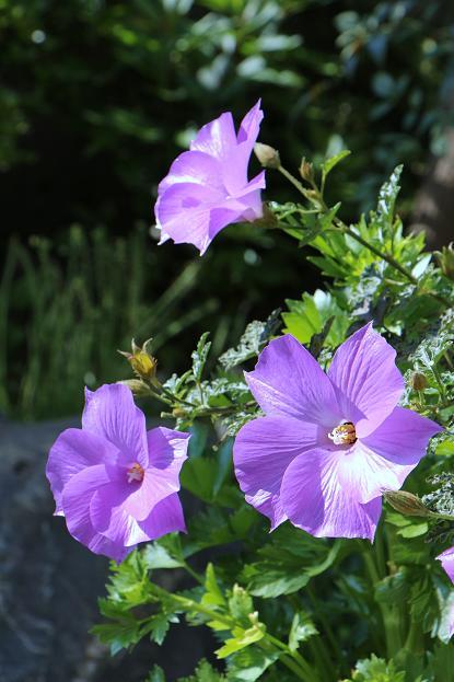 5月 庭の花だより(紫色編)_d0150720_1459224.jpg