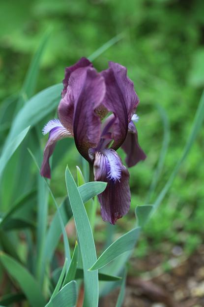 5月 庭の花だより(紫色編)_d0150720_1502674.jpg