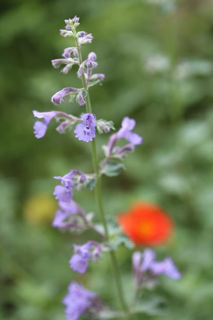5月 庭の花だより(紫色編)_d0150720_1504894.jpg