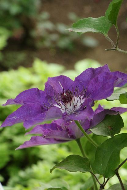 5月 庭の花だより(紫色編)_d0150720_151768.jpg