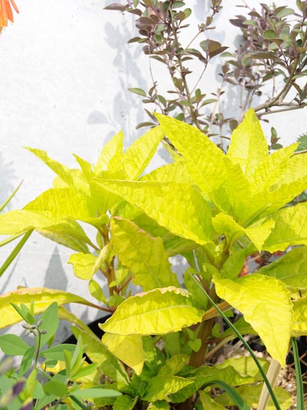 素晴らしい黄金葉! フィトラッカ サニーサイドアップ などなど ^^_f0191870_1974048.jpg