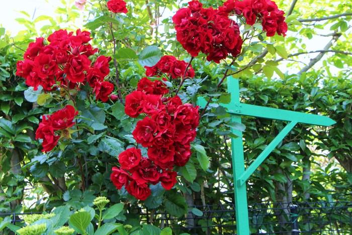 5月 庭の花だより (バラ編)_d0150720_1025279.jpg