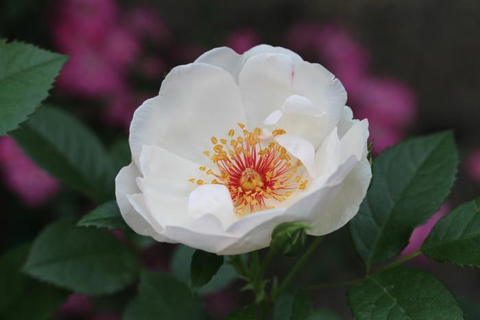 5月 庭の花だより (バラ編)_d0150720_10342810.jpg