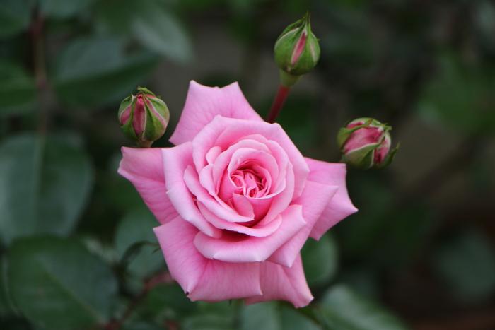 5月 庭の花だより (バラ編)_d0150720_10361744.jpg