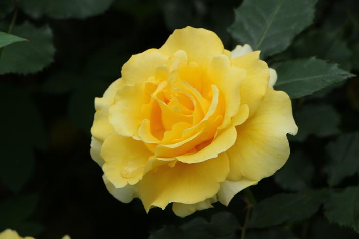 5月 庭の花だより (バラ編)_d0150720_10364748.jpg