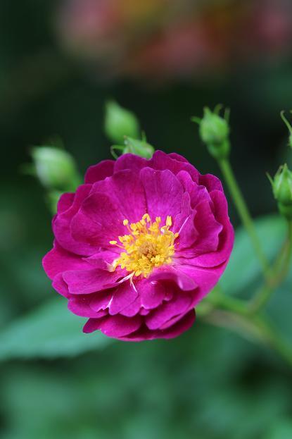 5月 庭の花だより (バラ編)_d0150720_10444522.jpg