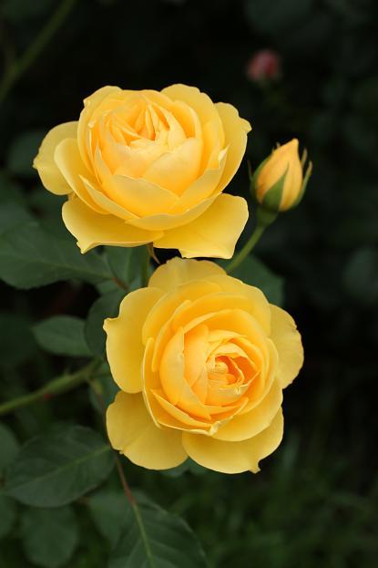 5月 庭の花だより (バラ編)_d0150720_10454162.jpg