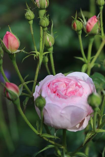 5月 庭の花だより (バラ編)_d0150720_1046506.jpg