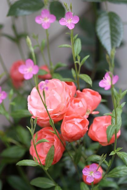 5月 庭の花だより (バラ編)_d0150720_1049475.jpg