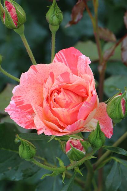 5月 庭の花だより (バラ編)_d0150720_11133395.jpg