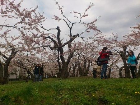 桜_b0106766_23275442.jpg