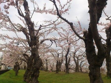 桜_b0106766_23275450.jpg
