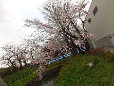 桜_b0106766_23275524.jpg