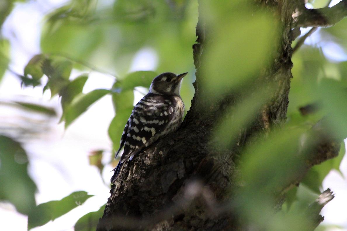 コゲラ (Japanese Pygmy Woodpecker)                _a0107574_2236176.jpg