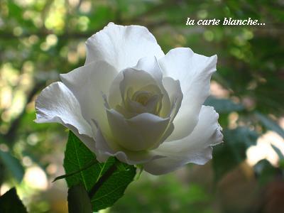 白い花のこころ・現代人を癒すセラピーの白バラ☆_c0098807_20194616.jpg