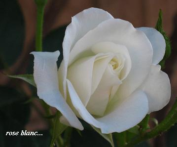 白い花のこころ・現代人を癒すセラピーの白バラ☆_c0098807_2038995.jpg