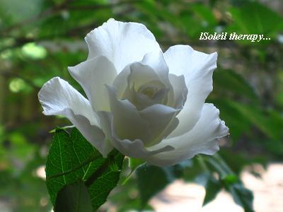 白い花のこころ・現代人を癒すセラピーの白バラ☆_c0098807_2118349.jpg