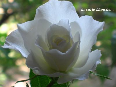 白い花のこころ・現代人を癒すセラピーの白バラ☆_c0098807_2144110.jpg
