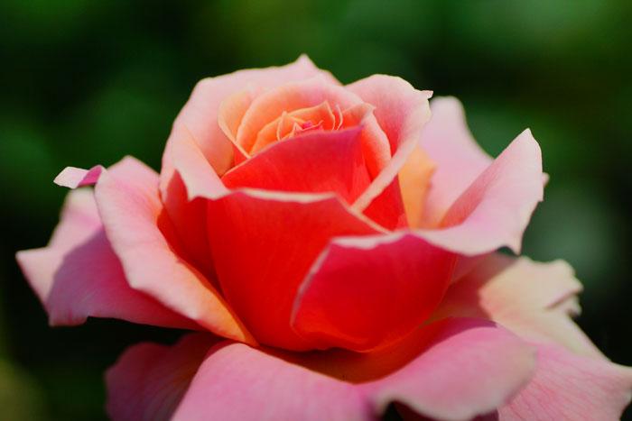 spring rose_e0077521_23334391.jpg