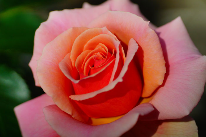 spring rose_e0077521_23335961.jpg