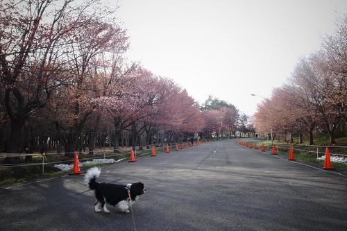 ようやく、桜咲き始めました。_c0051132_20411450.jpg
