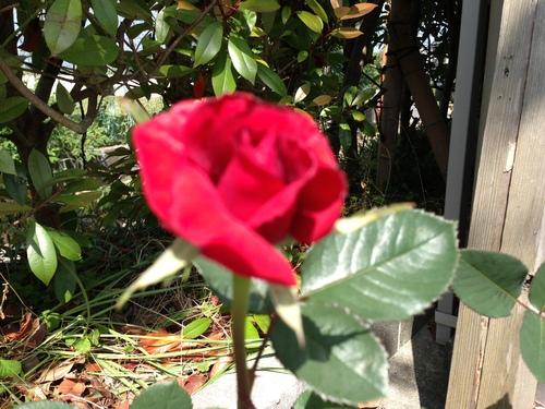 バ~ラが咲いた、バ~ラが咲いた♪_b0115751_2226196.jpg