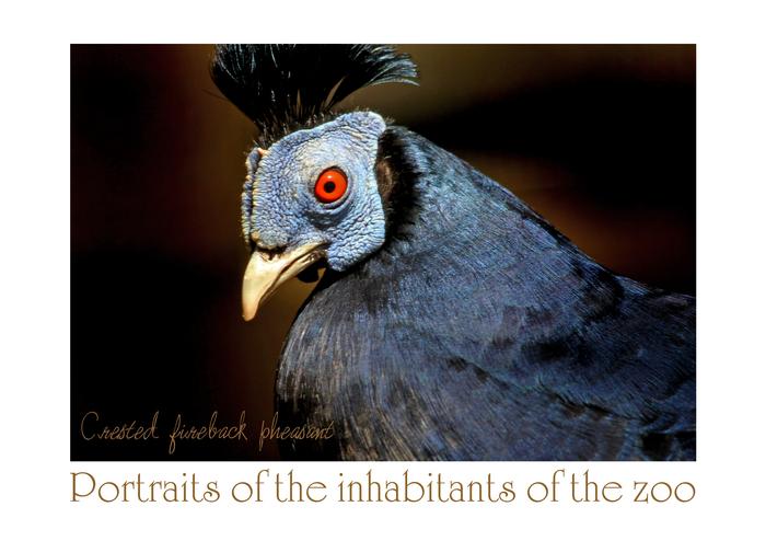 コシアカキジ:Crested fireback pheasant_b0249597_6401566.jpg