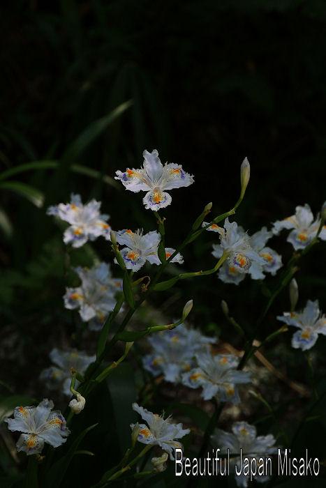 シャガの花 .。・:*:・゚'☆、。 5月15日_c0067206_174333.jpg
