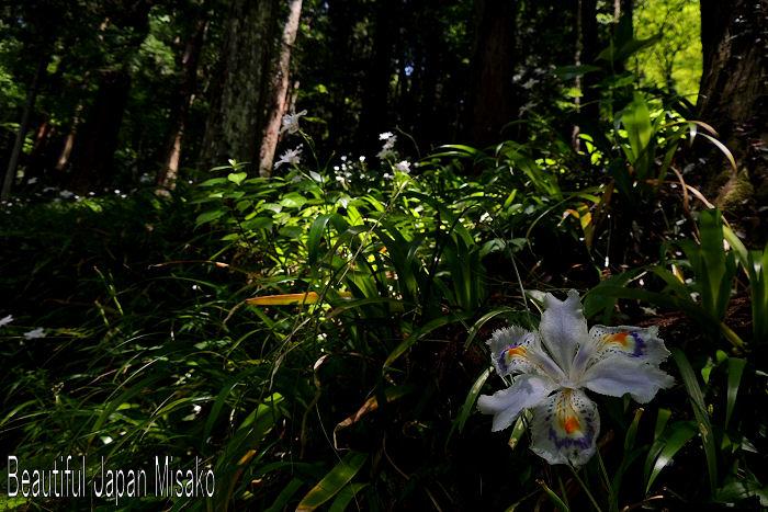 シャガの花 .。・:*:・゚'☆、。 5月15日_c0067206_1744261.jpg