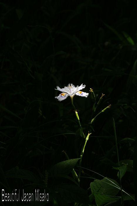 シャガの花 .。・:*:・゚'☆、。 5月15日_c0067206_17444261.jpg