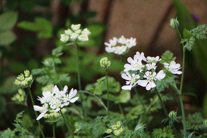 5月 庭の花だより (草花編) _d0150720_1438271.jpg