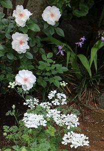 5月 庭の花だより (草花編) _d0150720_15213316.jpg