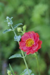 5月 庭の花だより (草花編) _d0150720_15234656.jpg