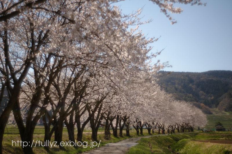飯山の桜 (7)_d0108132_16572194.jpg