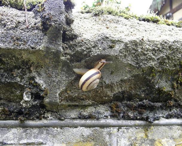 コンクリートにのぼるカタツムリ