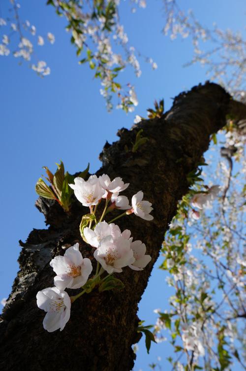 桜_b0108779_16573086.jpg