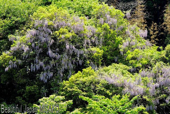 山藤と新緑のコラボが最高 .。・:*:・゚`☆、。 5月15日_c0067206_12121322.jpg